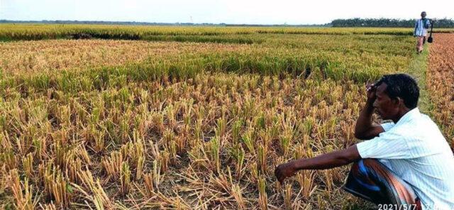 বড়াইগ্রামে কৃষকের পাকা ধান কেটে নিল ইউপি মেম্বর